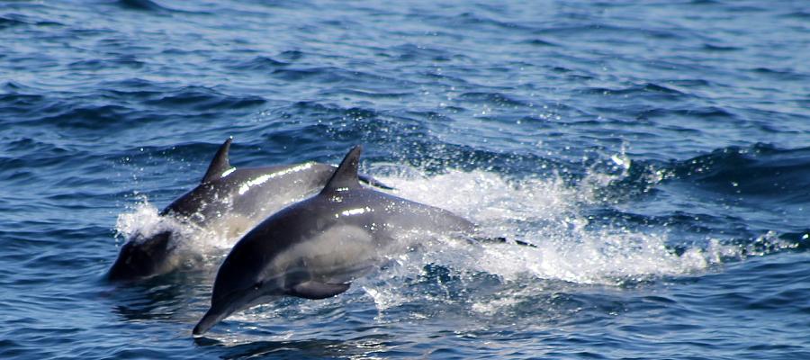 В Черном море массово гибнут дельфины. Причина - человек
