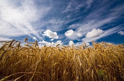 В Казахстане гигантский урожай зерновых. В октябре в Казахстане цены на бензин не поднимутся. Уборка, однако.