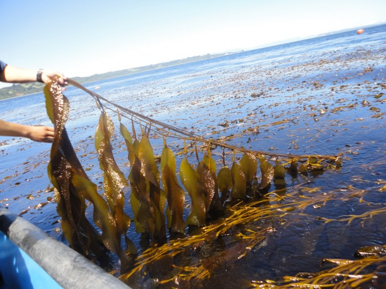 В США займутся производством бионефти из водорослей