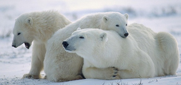 Rosneft´s rescuers help meteorologists trapped by polar bears in Arctic