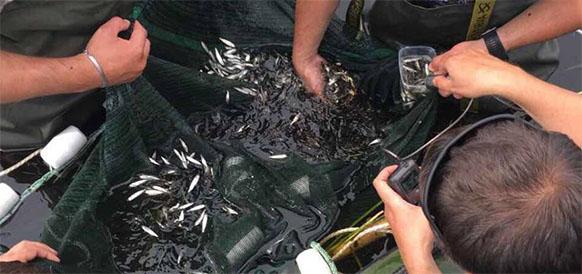 Пелядь в Иртыше. Мессояханефтегаз выпустила в Иртыш 2,5 млн мальков ценной промысловой рыбы