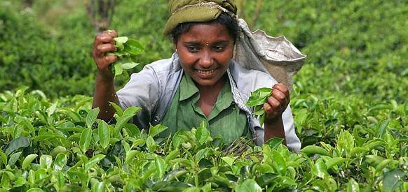Иран отказал Шри-Ланке в погашении задолженности за нефть чаем. Но попробовать стоило