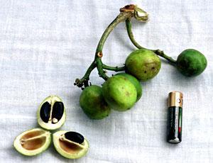 Jatropha tree  — new alternative biofuel