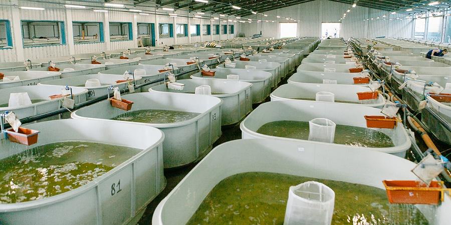 Бассейны, в которых выращивают молодь осетра на Абалакском экспериментал....jpg